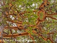 den-pine-_kieferngewaechse-pinaceae_20180625_1232095082