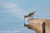 Oeverloper-Common Sandpiper-Flußuferläufer-Actitis hypoleucos