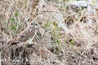 velduil-short-eared_owl-sumpfohreule-asio_flammeus_2_20180625_1526871145