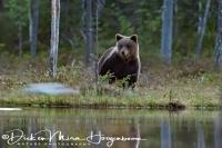 bruine_beer-brown_bear-_braunbaer-ursus_arctos_1_20180625_1911258817