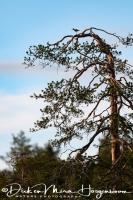 groenpootruiter-common_greenshank-gruenschenkel-tringa_nebularia_1_20180625_1838206386