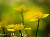 dotter-marsh-marigold-sumpfdotterblume-caltha_palustris_1_20180625_1677477928