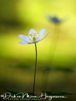 bosannemoon-wood_anemone-buschwindroeschen-anemone_nemorosa_1_20180625_1904309931