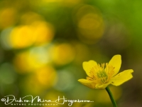 dotter-marsh-marigold-sumpfdotterblume-caltha_palustris_2_20180625_1985172529