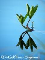 waterdrieblad-menyanthes-bitterklee-menyanthes_trifoliata_2_20180625_1313907248