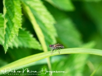 zweefvlieg-hoverflie-schwebflieg-syrphidae_4_20180625_1019581701