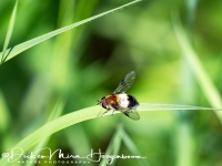 zweefvlieg-hoverflie-schwebflieg-syrphidae_3_20180625_1096450420