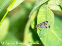 schorpioenvlieg-scorpionsflie-skorpionsfliegen-panorpidae_20180625_1725258866