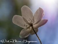 bosannemoon-wood_anemone-buschwindroeschen-anemone_nemorosa3_20180625_1808112095